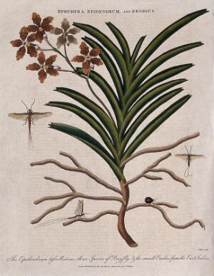 view A tropical orchid (Epidendrum tessellatum), three day-flies (Ephemera species) and a small beetle (Erodius species). Coloured etching by J. Pass, c. 1804, after J. Ihle.