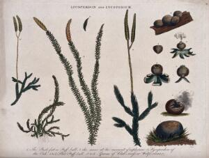 view A dehiscing puffball (Lycoperdon species) and four types of clubmoss (Lycopodium species). Coloured etching by J. Pass, c. 1815.