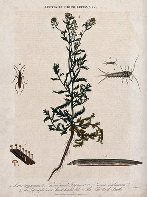 view A flowering pepperwort plant (Lepidium species) with a cup fungus, two silverfish, a fish larva and wood-beetle. Coloured etching by J. Pass, c. 1813.