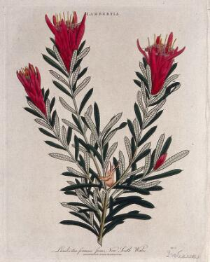 view A plant (Lambertia formosa): flowering stem. Coloured etching by J. Pass, c. 1813.