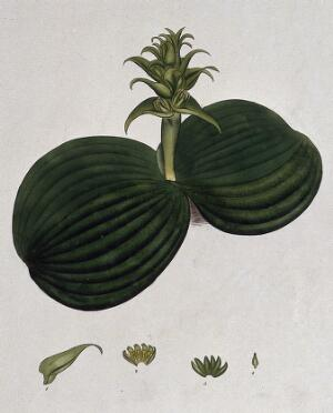 view A plant (Whiteheadia latifolia): flowering stem and floral segments. Coloured engraving, c. 1804, after H. Andrews.