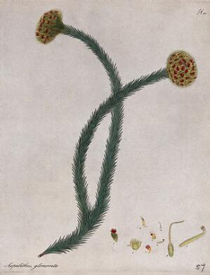 view A plant (Aspalathus glomerata): flowering stem with floral segments. Coloured engraving, c. 1804, after H. Andrews.