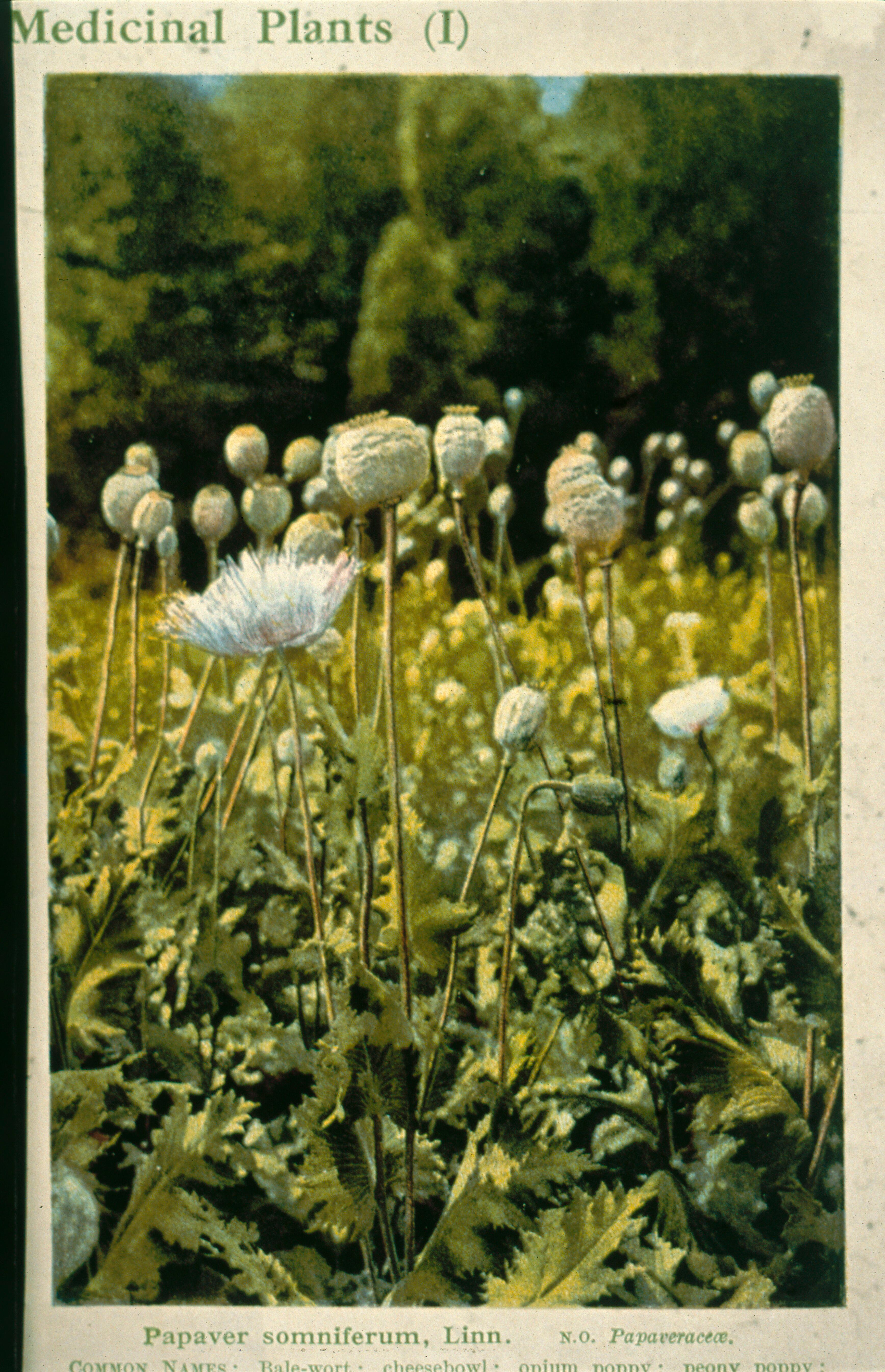 Opium Poppy Papaver Wellcome Collection