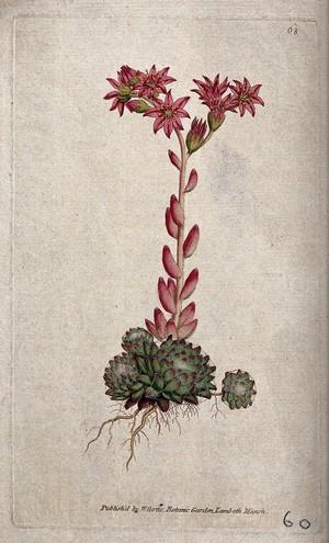 view A houseleek (Sempervivum arachnoideum): flowering plant. Coloured engraving, c. 1788.
