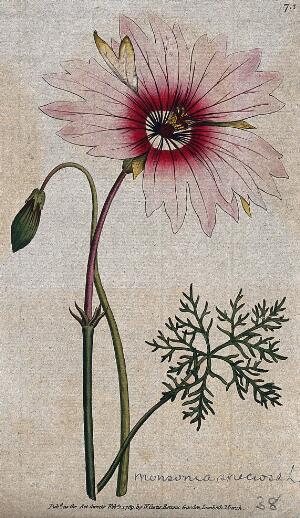 view A plant (Monsonia speciosa): flowering stem and leaf Coloured engraving, c. 1789.