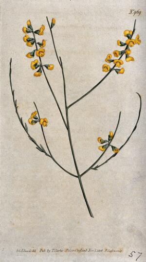 view A leguminous plant (Sphaerolobium vimineum): flowering stem. Coloured engraving by F. Sansom, c. 1806, after S. Edwards.