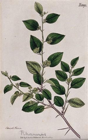 view Christ's thorn plant (Ziziphus spina-christi): flowering stem. Coloured engraving, c. 1817.