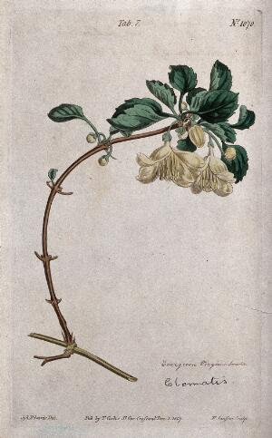 view A clematis plant (Clematis cirrhosa): flowering stem. Coloured engraving by F. Sansom, c. 1807, after S. Edwards.