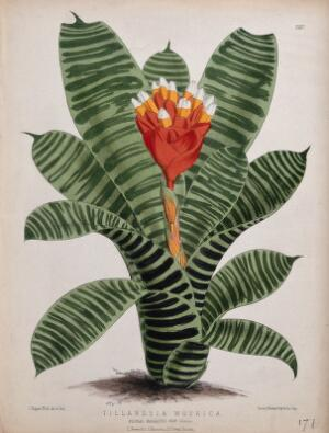 view A plant (Tillandsia musaica): flowering stem. Coloured lithograph by J. N. Fitch, c. 1880, after himself.