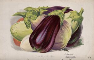 view Aubergine or egg plant (Solanum melongena): fruits of different varieties. Chromolithograph, c. 1870, after H. Briscoe.