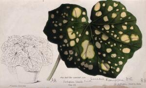 view A plant (Senecio kaempferi): variegated leaf and entire potted plant. Coloured zincograph by J. Andrews, c. 1861, after himself.
