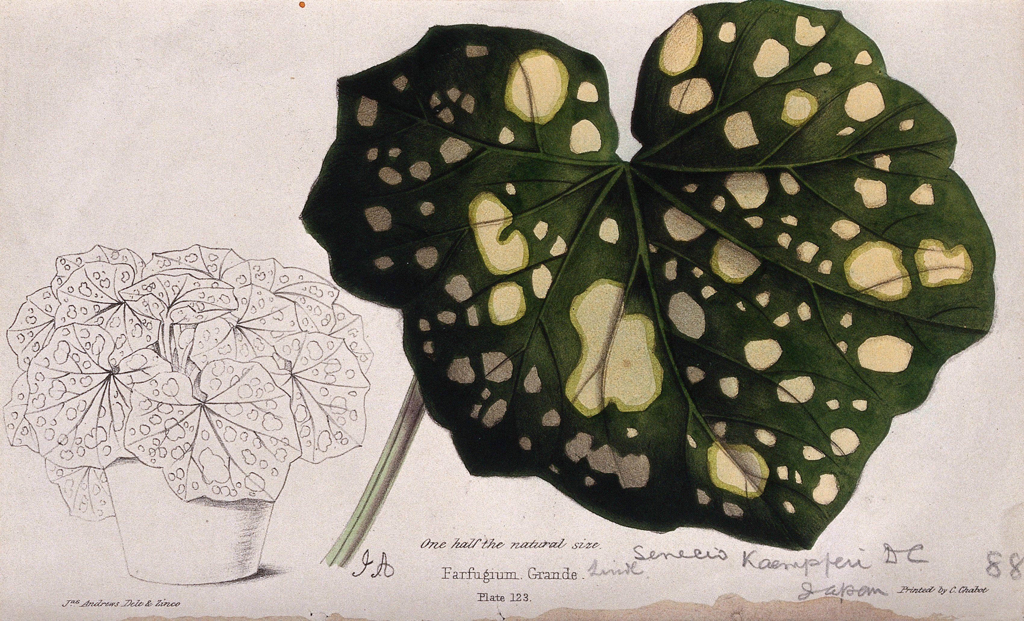 A plant (Senecio kaempferi)  variegated leaf and entire potted plant.  Coloured zincograph by J. Andrews afca4e49169