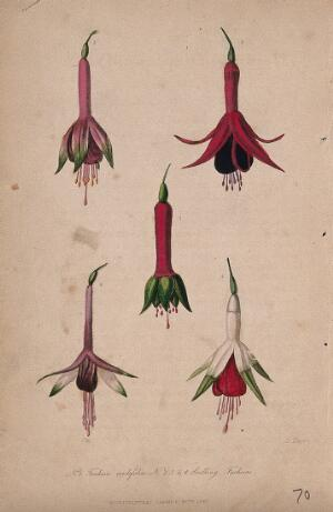 view Five flowers of a garden fuchsia (Fuchsia cordifolia). Coloured aquatint by D. Hayes, c. 1841.