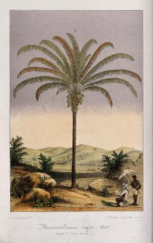 view A large kokerite palm (Maximiliana maripa) and the artist drawing it, in a tropical landscape. Chromolithograph by L. Stroobant, c. 1855.