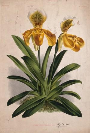 view A lady's slipper orchid (Cypripedium sallieri): flowering plant. Chromolithograph, c. 1885, after P. de Pannemaeker.