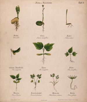 view Ten seedlings with different types of cotyledon or seed leaves. Chromolithograph, c. 1850.
