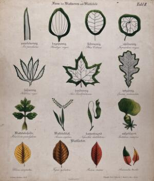 view Fifteen plant leaves with different types of venation, stalk and autumn colour. Chromolithograph, c. 1850.