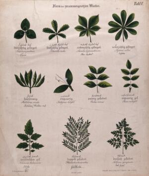 view Eleven compound plant leaves, all of different shapes. Chromolithograph, c. 1850.