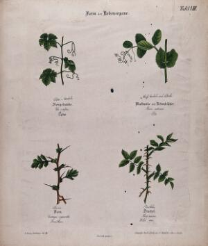 view Four plants, all with different forms of tendrils or thorns. Chromolithograph, c. 1850.