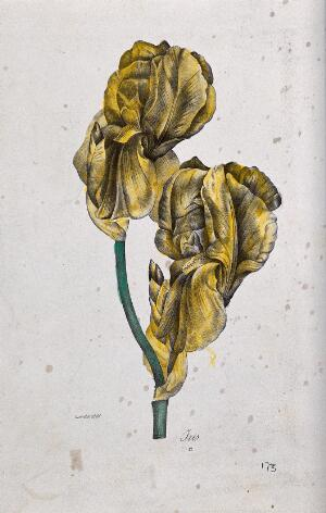 view A flowering iris. Coloured lithograph, c. 1850, after Guenébeaud.