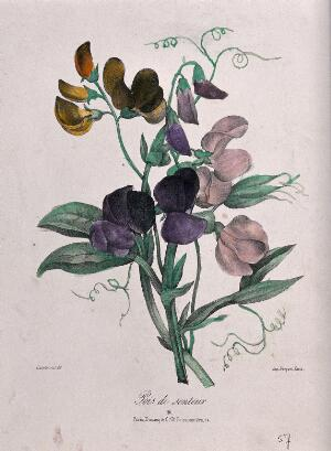 view A bunch of sweet peas (Lathyrus odoratus). Coloured lithograph, c. 1850, after Guenébeaud.