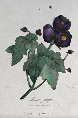 view A flowering mallow plant (Malva purpurea). Coloured lithograph, c. 1850, after Guenébeaud.