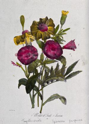 view An African marigold (Tagetes erecta) and morning glory (Ipomoea purpurea): flowering stems. Coloured lithograph, c. 1850, after Guenébeaud.