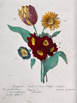 view Four flowers: a chrysanthemum, an auricula, a tulip and a morning glory. Coloured lithograph, c. 1850, after Guenébeaud.