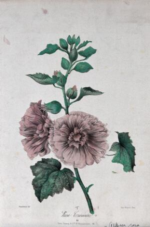 view A flowering marsh mallow plant (Althaea rosa). Coloured lithograph, c. 1850, after Guenébeaud.