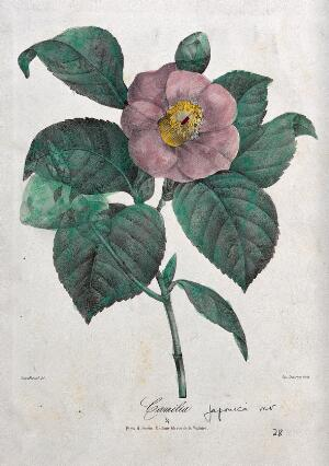view A camellia (Camellia japonica var.): flowering stem. Coloured lithograph, c. 1850, after Guenébeaud.