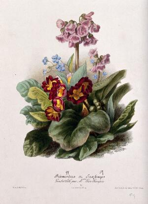 view Two flowering plants: primroses (Primula species) and saxifrages (Saxifraga species). Coloured lithographs by E. Champin, c. 1850, after herself.