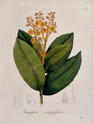view A tropical plant (Gomphia crassifolia): flowering stem and floral segments. Coloured lithograph.