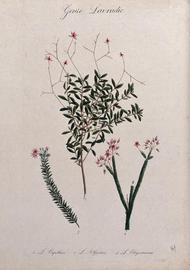 Three flowering plants, all species of the genus Lauradia. Coloured lithograph.