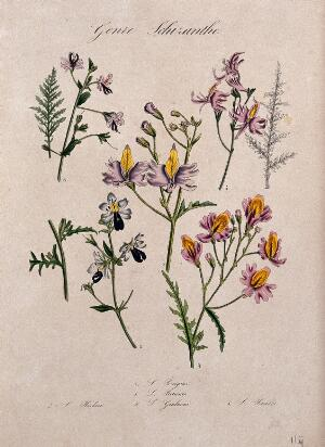 view Five different types of butterfly flower (Schizanthus species): flowering stems and leaves. Coloured lithograph.