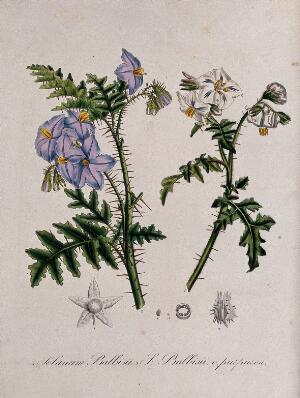 view Two spiny plants (Solanum sisymbrifolium): flowering stems and floral segments. Coloured lithograph.