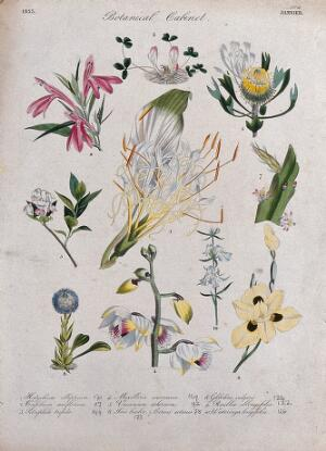 view Ten flowering plants, including two orchids and an iris. Coloured transfer lithograph, c. 1833.