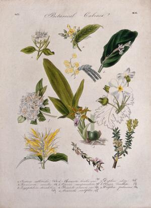 view Ten flowering plants, including an orchid and Chinese primrose (Primula sinensis). Coloured transfer lithograph, c. 1833.