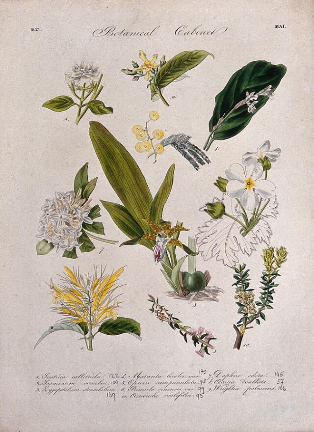 Collections search indian medicinal plants and drugs curcuma ten flowering plants including an orchid and chinese primrose primula sinensis coloured transfer lithograph c 1833 mightylinksfo