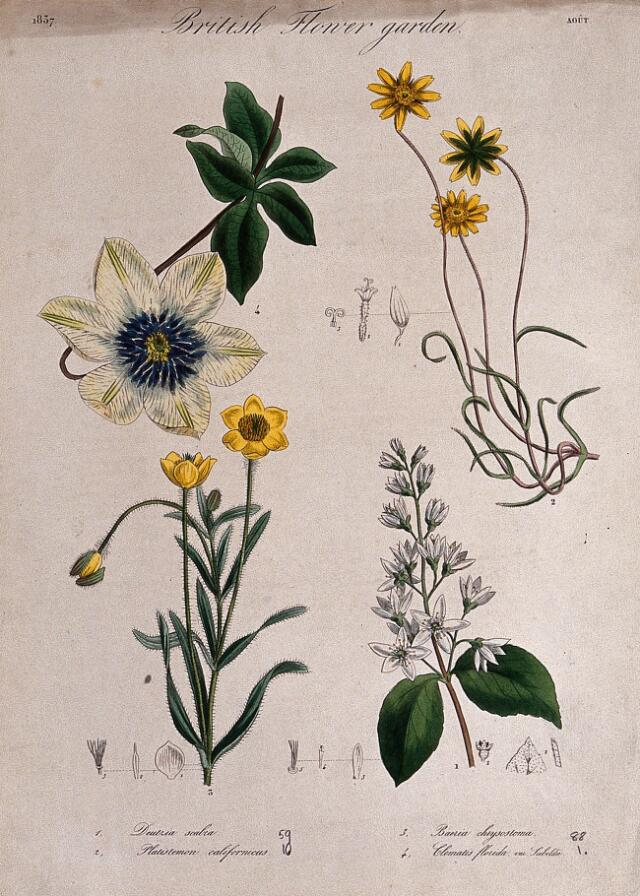 Collections search indian medicinal plants and drugs curcuma four british garden plants including a clematis flowering stems and floral segments coloured etching c 1837 mightylinksfo
