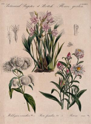 view Three British garden plants, including an orchid: flowering stems and floral segments. Coloured etching, c. 1838.