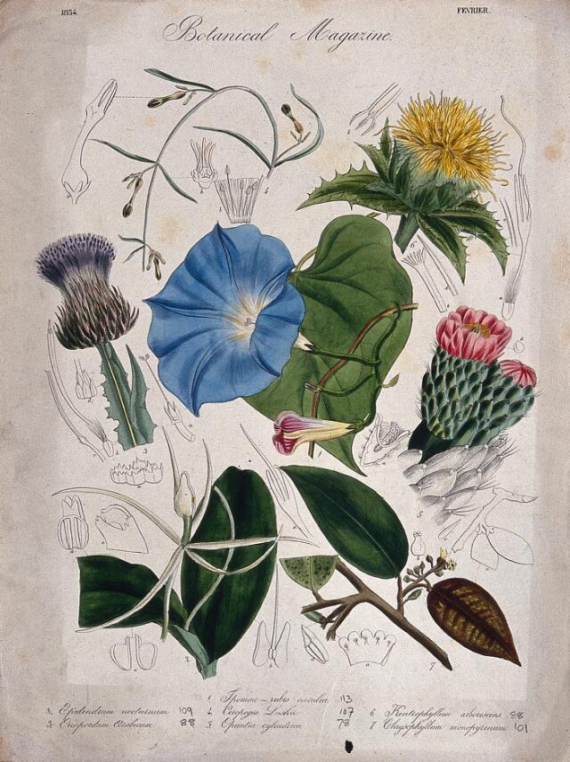 Collections search indian medicinal plants and drugs curcuma seven garden plants including a heavenly blue ipomoea flowering stems and floral segments coloured etching c 1834 mightylinksfo