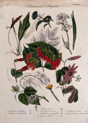 view Eight plants, including two passion flowers: flowering stems. Coloured etching, c. 1833.