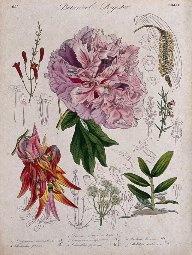 Collections search indian medicinal plants and drugs curcuma seven plants including a paeony a glory pea and two orchids flowering stems coloured etching c 1835 mightylinksfo
