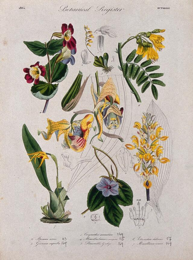 Collections search indian medicinal plants and drugs curcuma seven plants including three orchids and a monkey flower flowering stems coloured etching c 1835 mightylinksfo