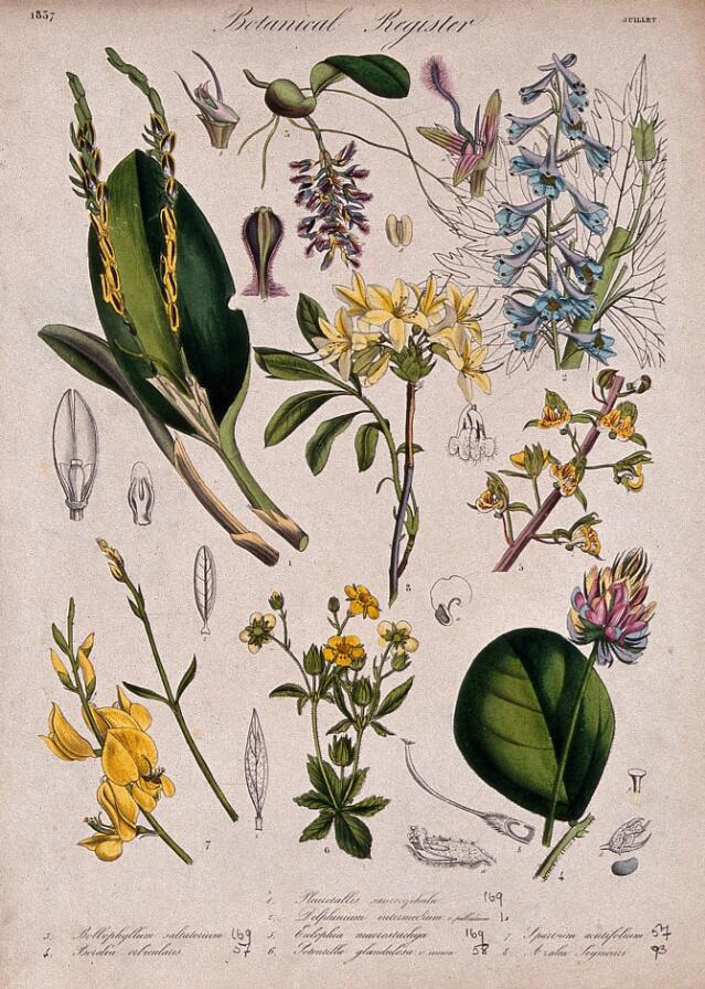 Collections search indian medicinal plants and drugs curcuma eight plants including three orchids a delphinium and an azalea flowering stems coloured etching c 1837 mightylinksfo