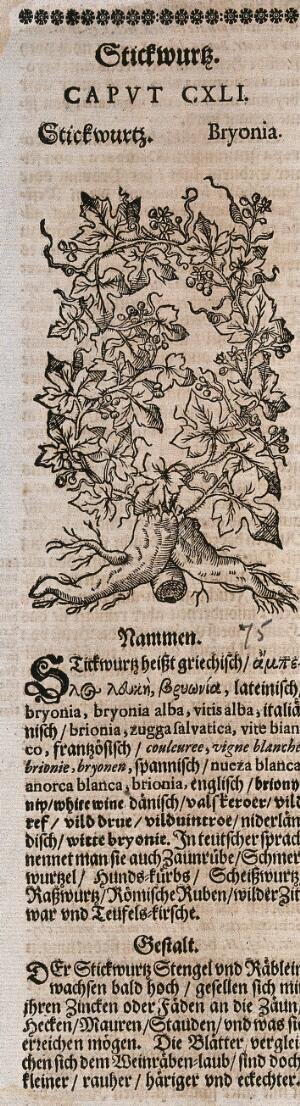 view White bryony (Bryonia dioica): flowering plant. Woodcut.