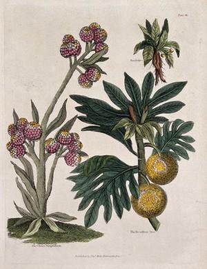 view A cudweed plant (Gnaphalium species), mandrake plant (Mandragora officinarum) and breadfruit tree (Artocarpus atilis). Coloured engraving, c. 1827.