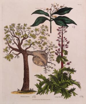 view A galled tree (Mimosa cinerea), a Jamaica pepper tree (Pimenta dioica) and a Turkey rhubarb plant (Rheum palmatum). Coloured engraving, c. 1827.
