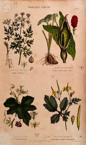 view Four poisonous plants: fool's parsley (Aethusa cynapium), cuckoo pint (Arum maculatum), white bryony (Bryonia dioica) and greater celandine (Chelidonium majus). Coloured engraving by J. Johnstone, 1855.