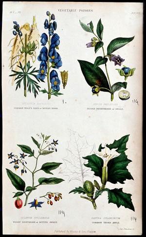 view Four poisonous plants: monk's hood (Aconitum napellus), deadly nightshade (Atropa belladonna), woody nightshade (Solanum dulcamara) and thorn-apple (Datura stramonium) Coloured engraving by J. Johnstone, 1855.